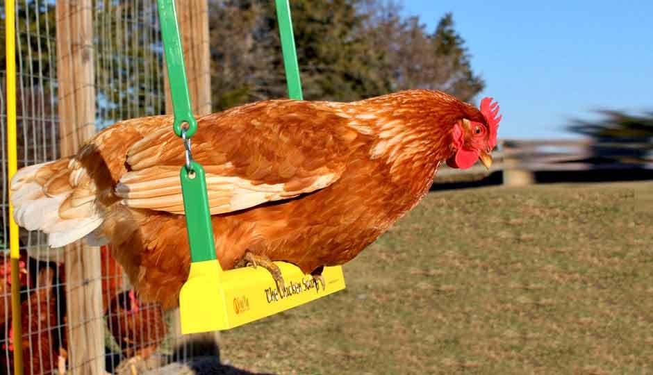 red hen swinging on yellow swing